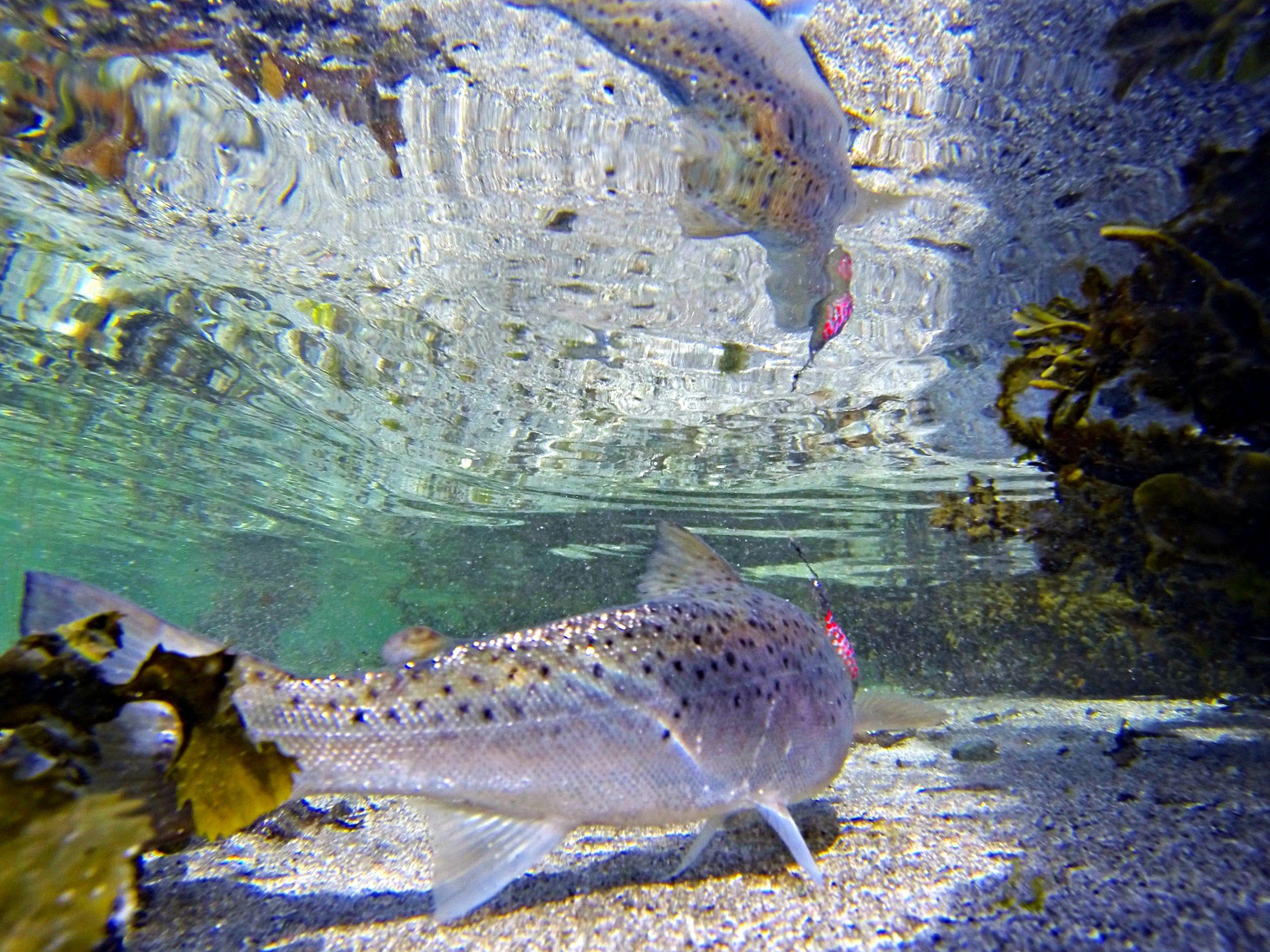 Sjøørreten er bare en av mange fisker som reagerer på spinnstopp