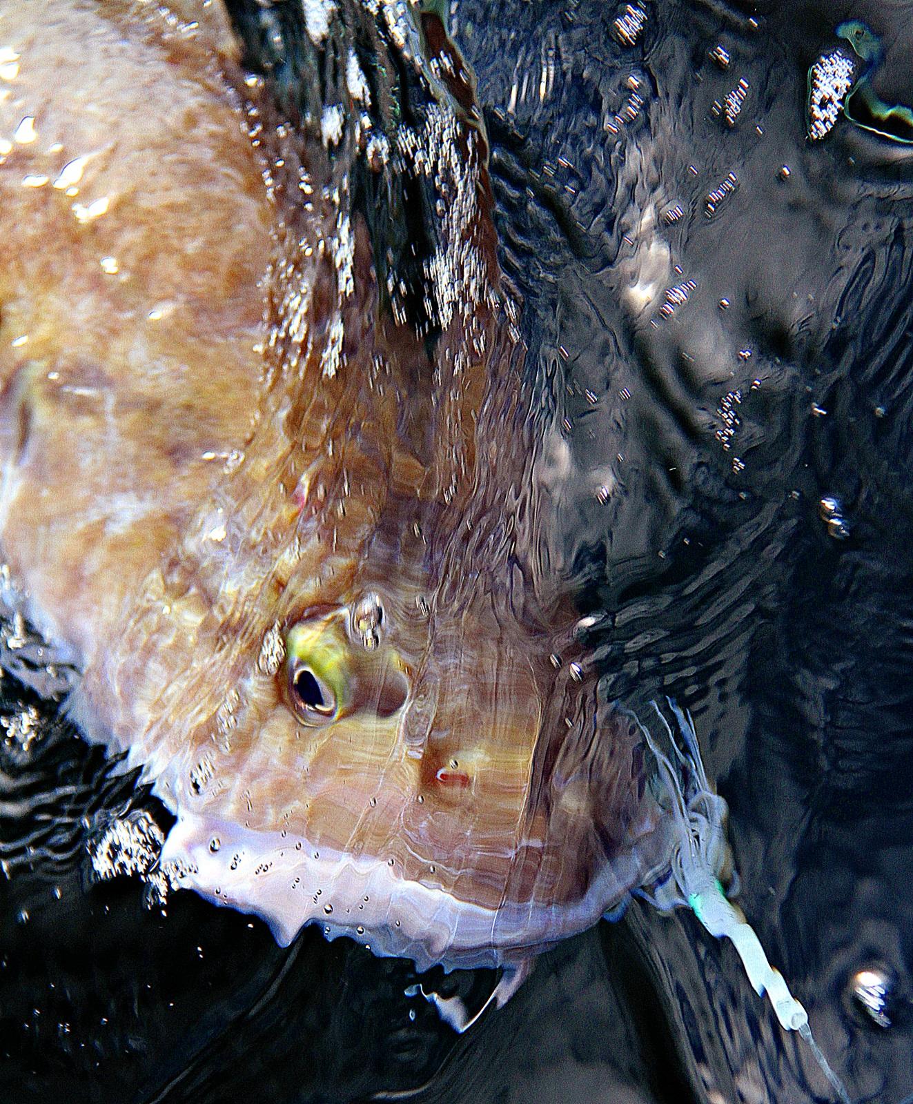 Brosme er bare en av mange spennende og gode matfisker som finnes på dypt vann hele året
