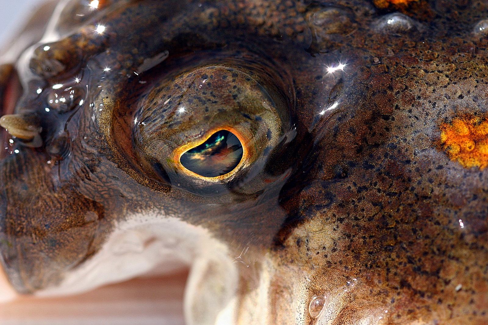 rødspetta er en av mange flyndrearter som er target med et slikt takkel