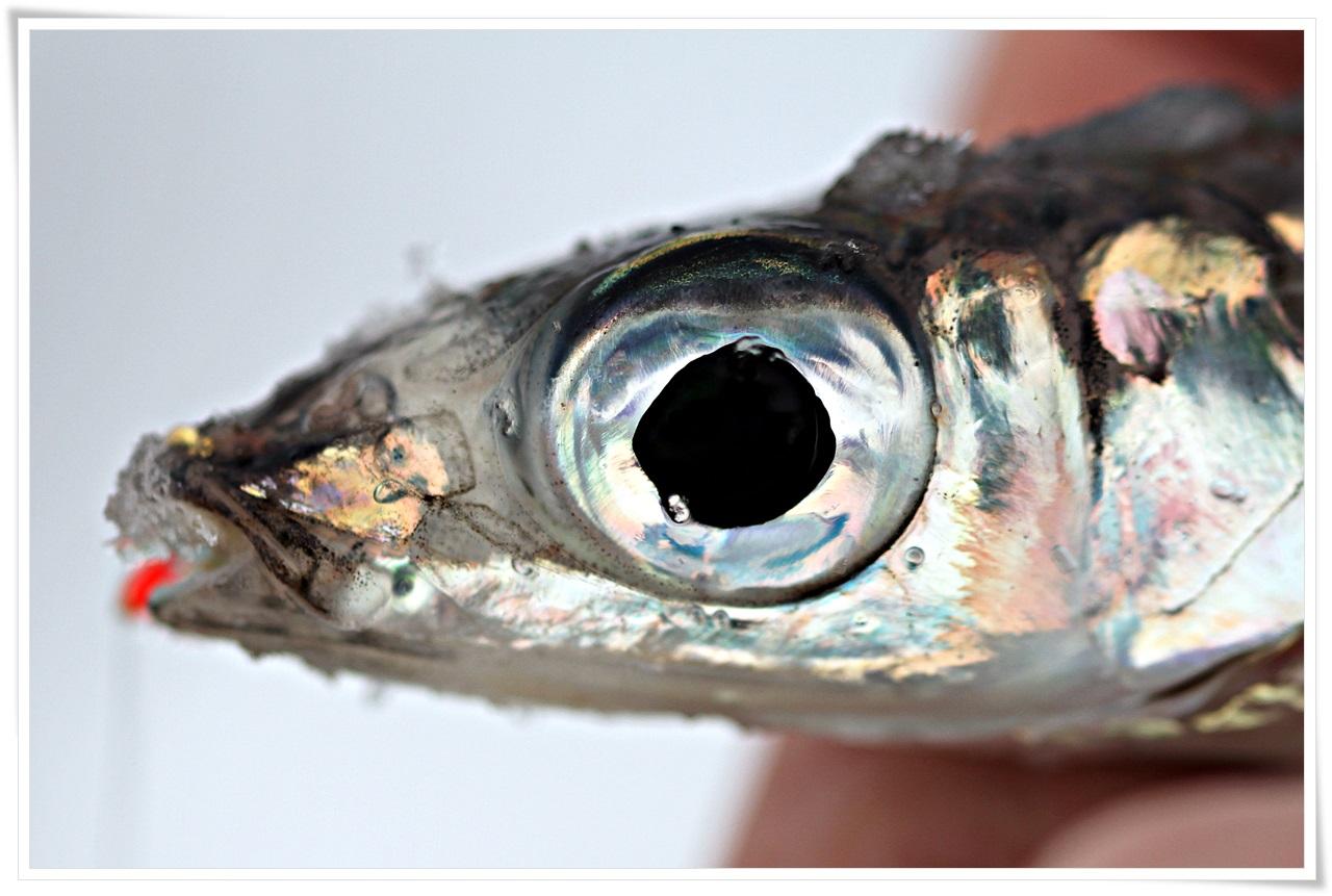 en pen fisk som også er godt agn for annen fisk