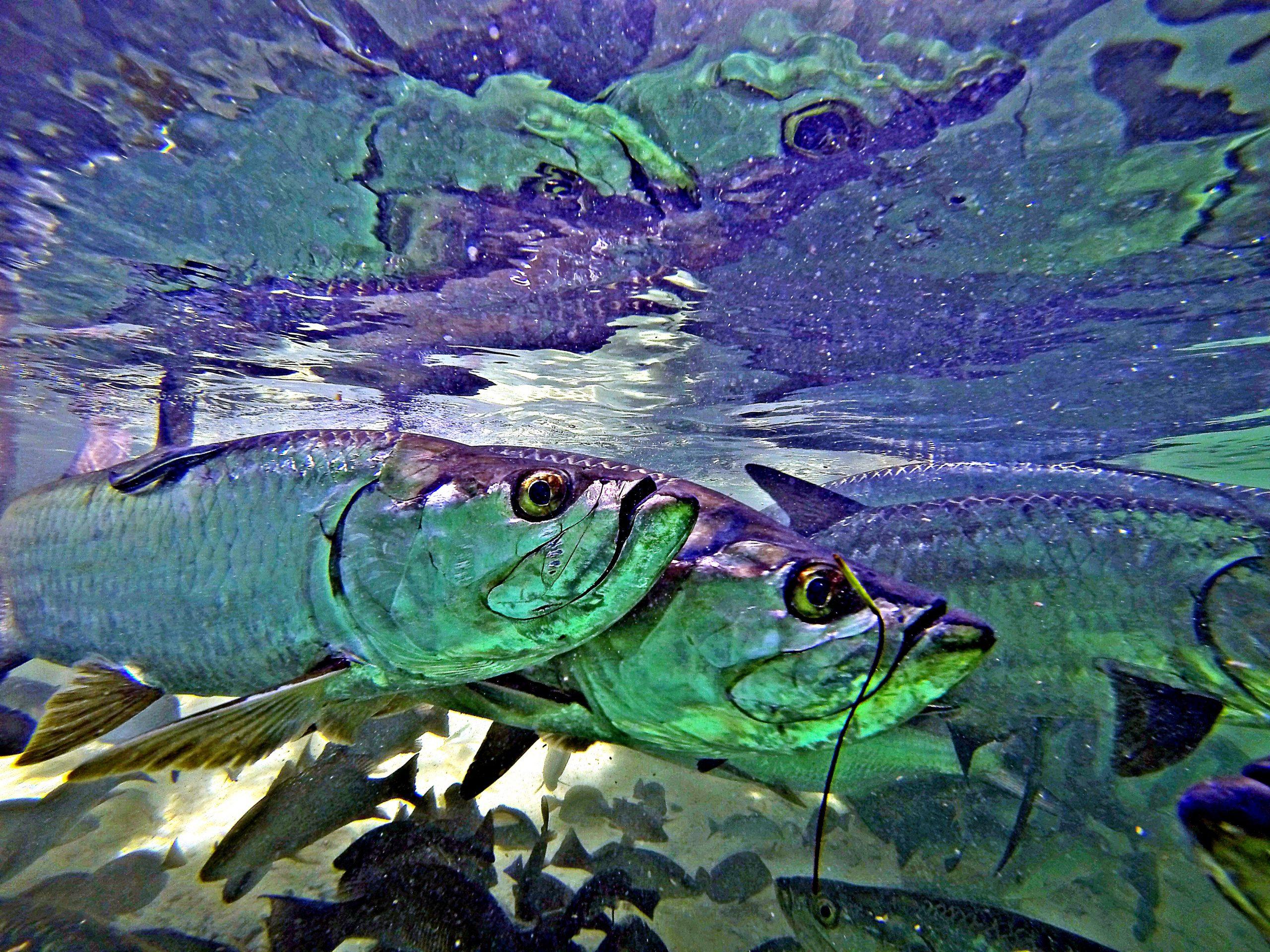 Uansett vær, under bryggene ute på Cayo Largo er det alltid mye fisk