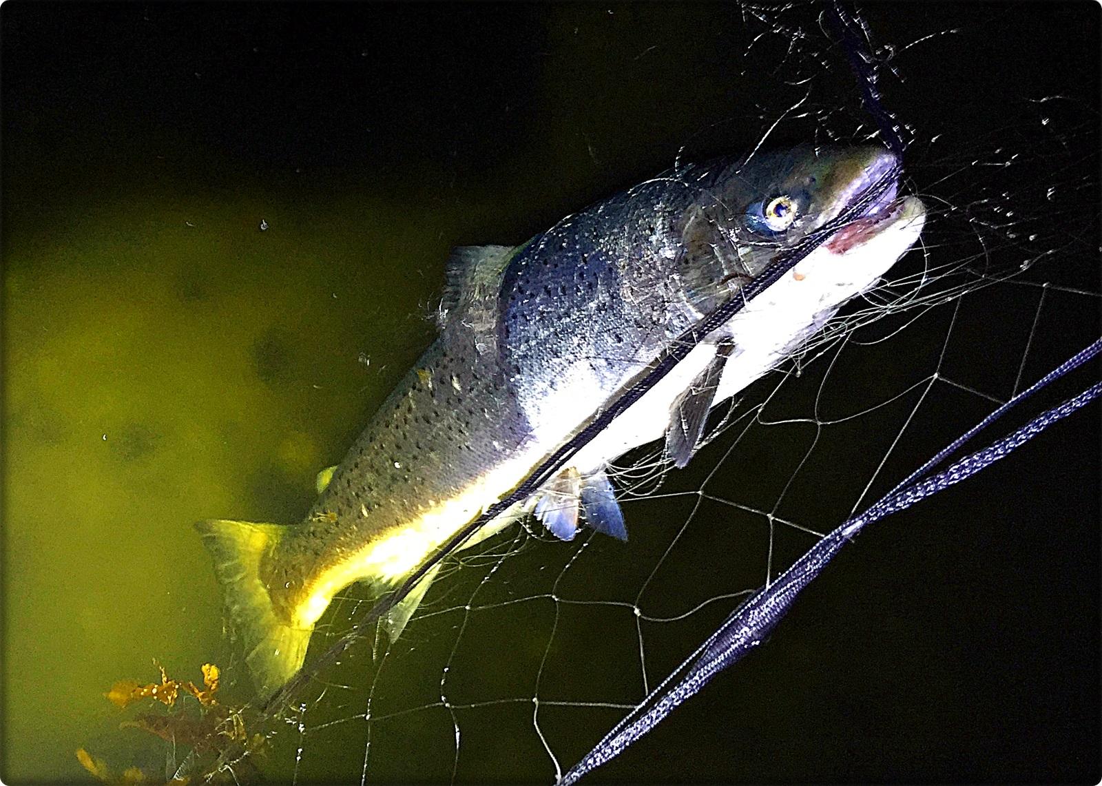 Denne smellfeite gjeldfisken stod i garnet når jeg ringte oppsynsmannen