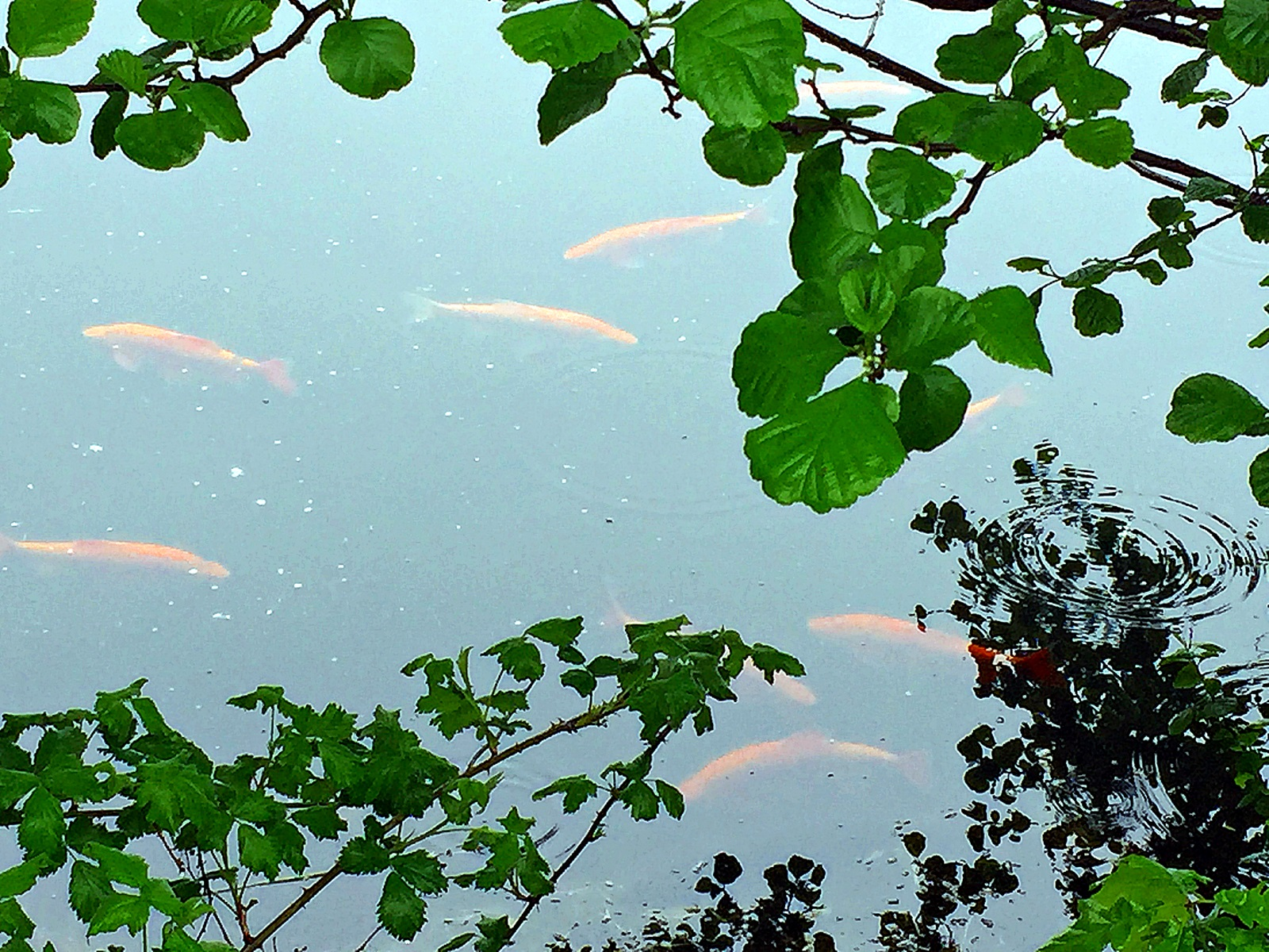 ganske sjelden å se så mange samlet i dette vannet