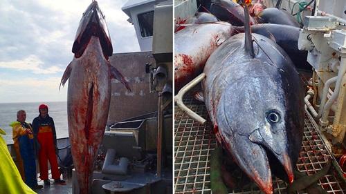 en del fisk blir tatt som bifangst under makrellfiske