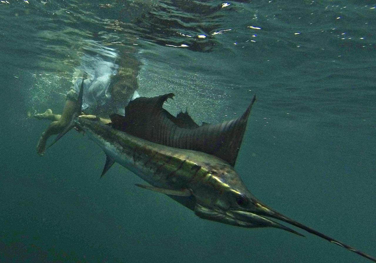 Verdens raskeste fisk sailfish