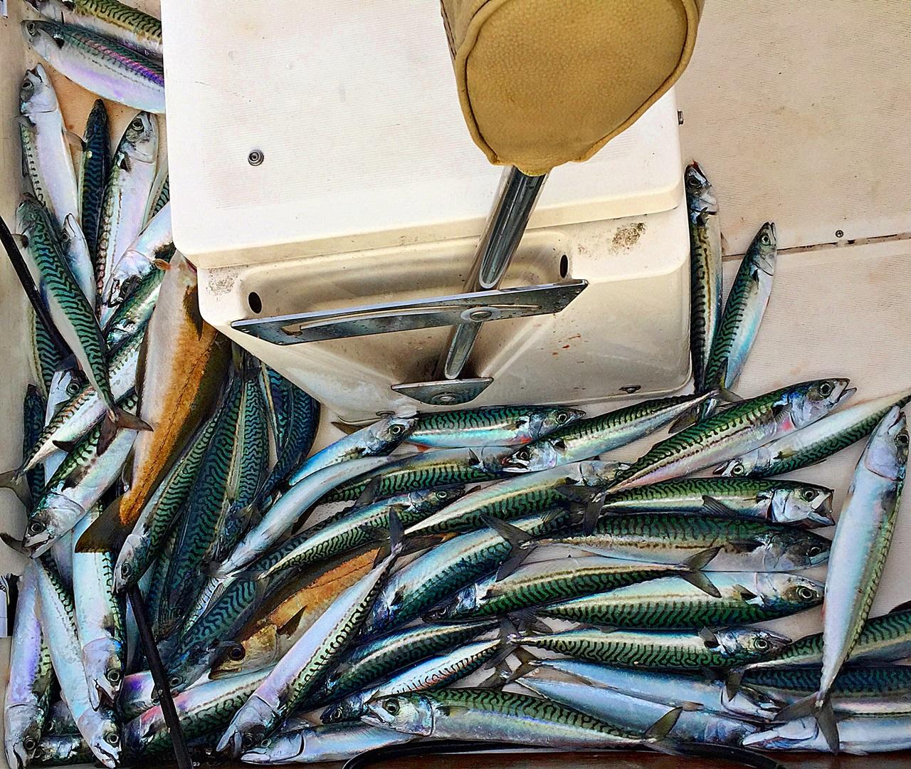 Makrellen opp til ca 700g