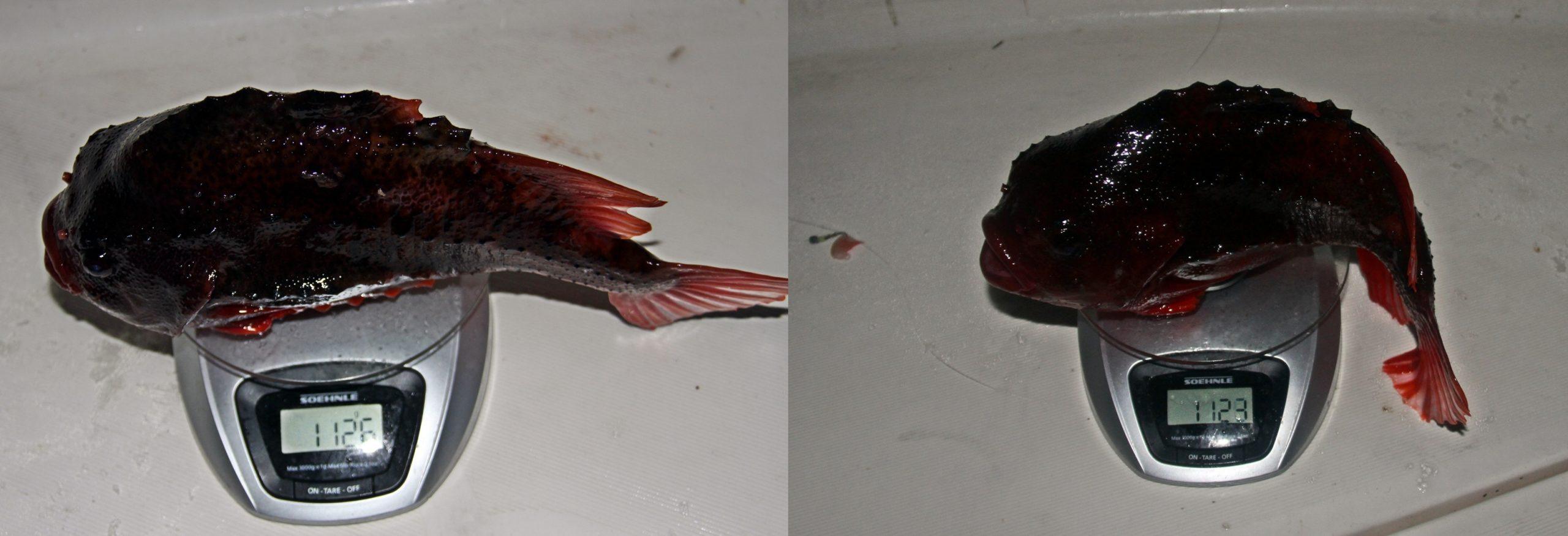 Bare noen få gram mellom disse to fiskene