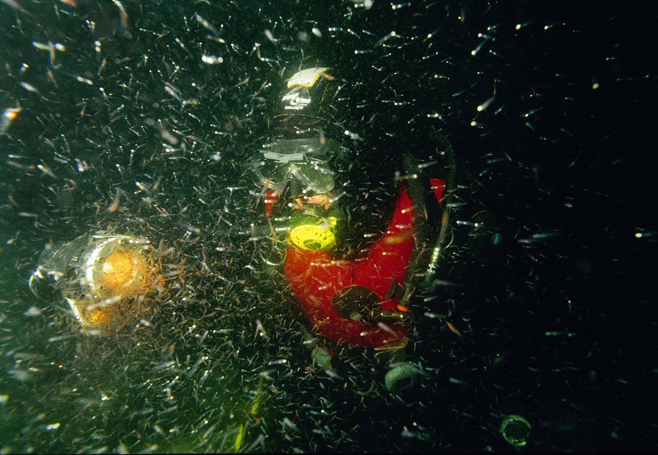 Her ser du mengder med krill som samles i lyset fra dykkeren. Foto: Rudolf Svendsen