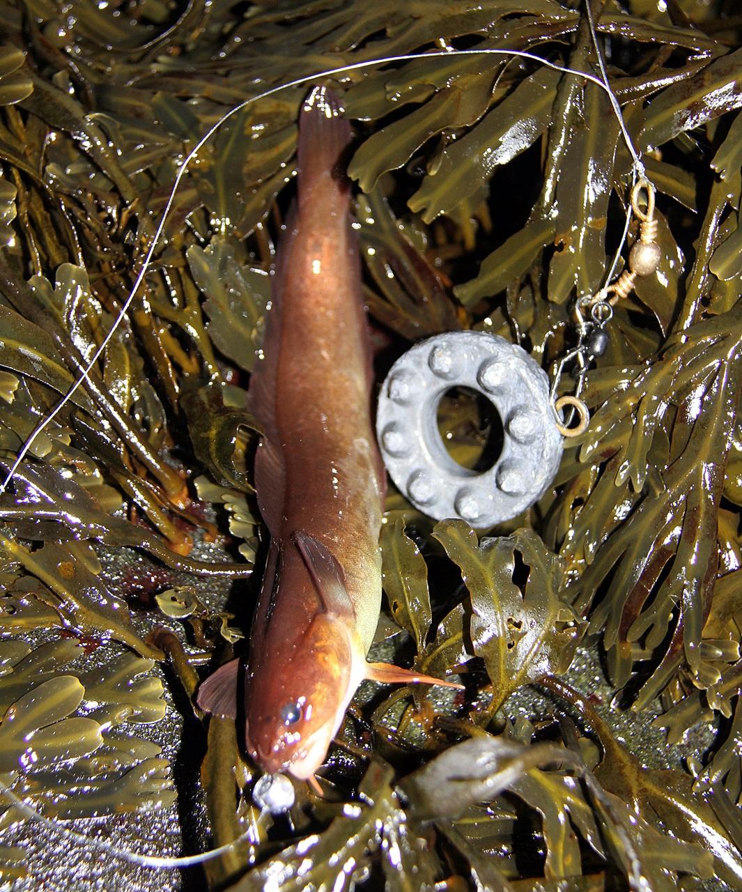 tangbrosmene er små krabater som vanligvis veier 30-50 gram her nede