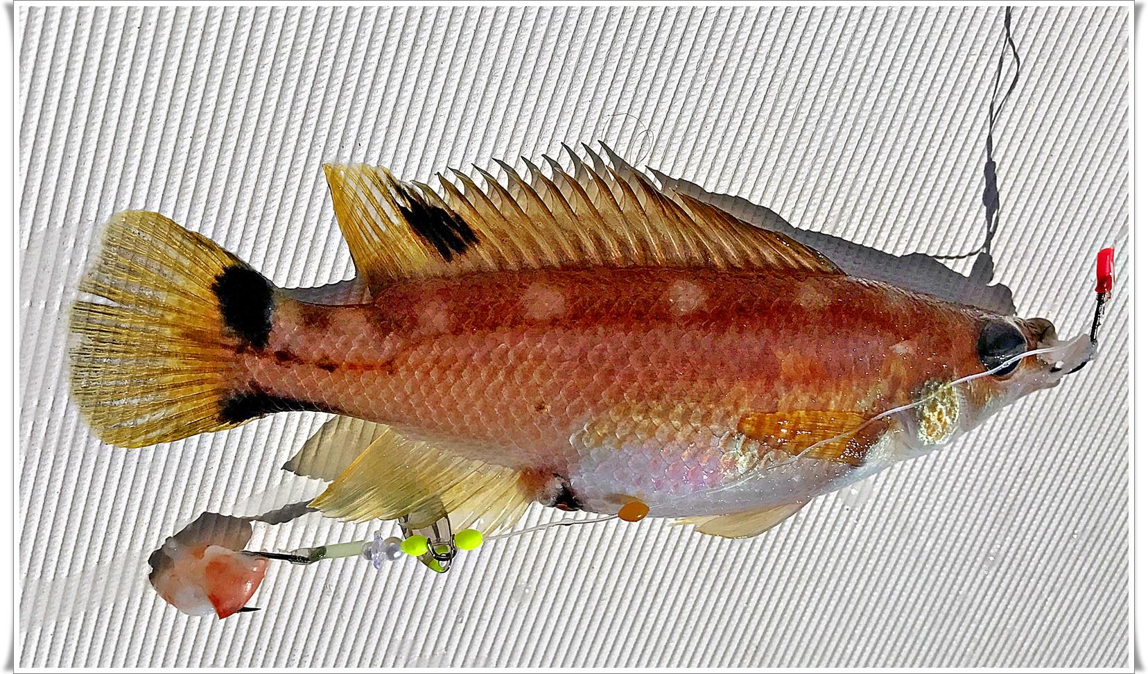 små kroker, smått agn og lett utstyr gir andre arter på dypet