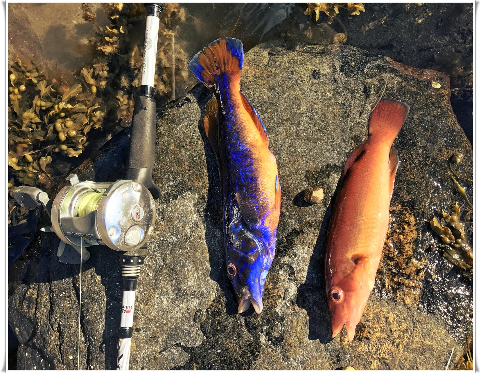 Blåstål og rødnebb er samme fiskeart. Den er jente (rødnebb) som liten og skifter kjønn og blir blå etterhvert