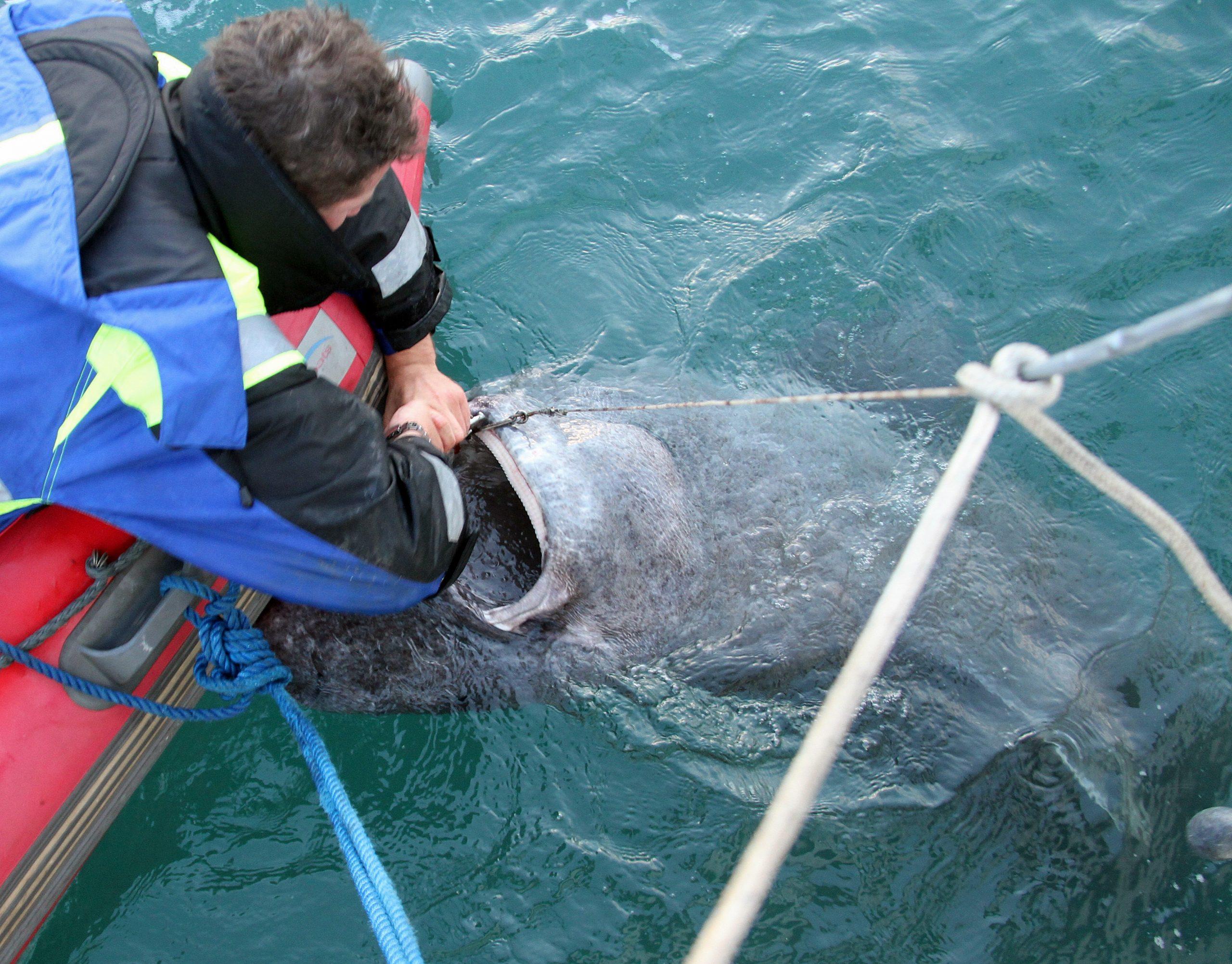 så ble den satt fri av fangstmannen og svømte rolig ned i det dype kalde vannet igjen