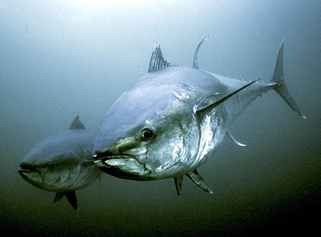 Northern bluefin tuna (Thunnus thynnus) in Atlantic waters, St. Margarets Bay, Nova Scotia, Canada.