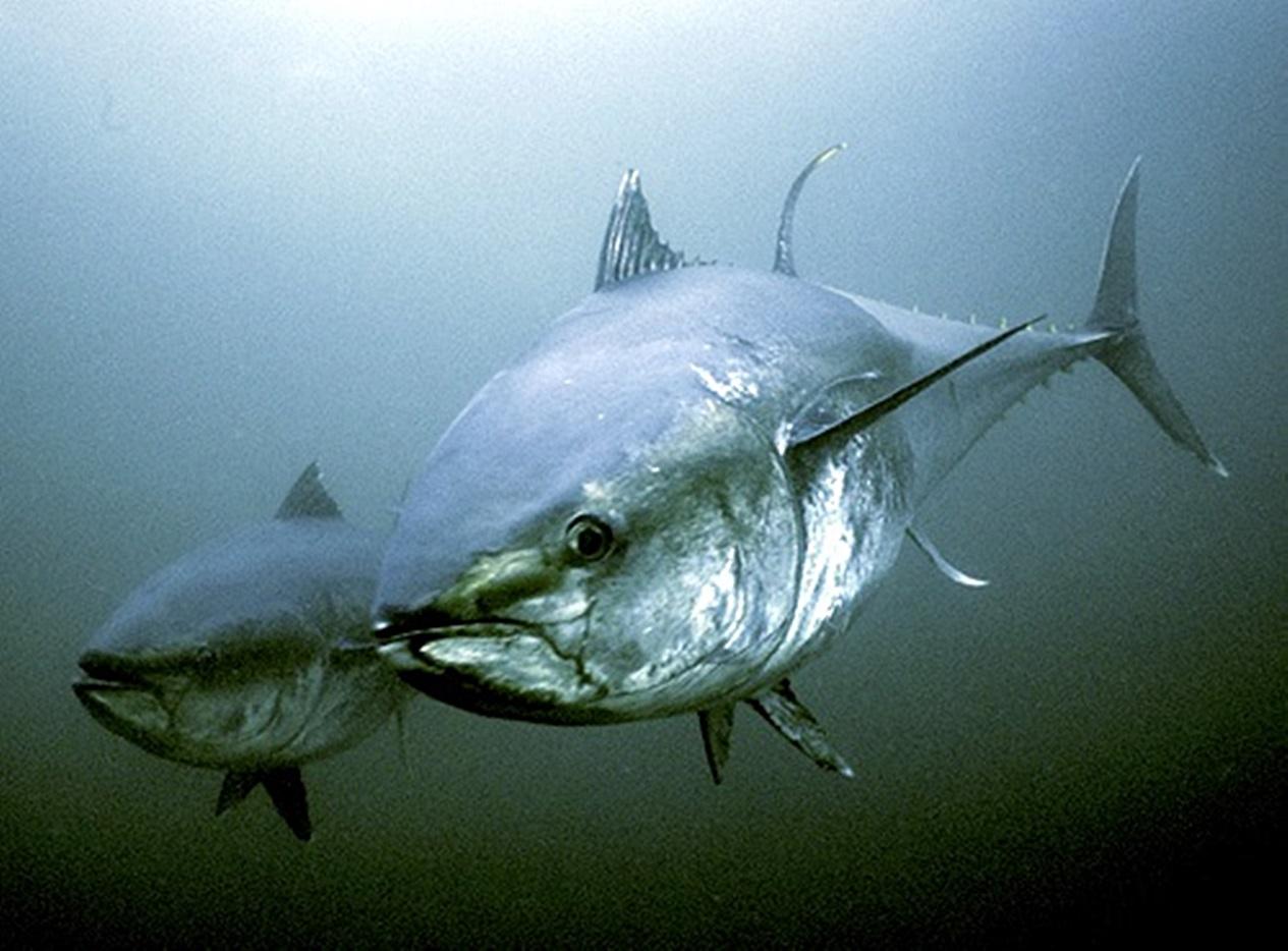 Northern bluefin tuna (Thunnus thynnus) in Atlantic waters, St. Margarets Bay, Nova Scotia, Canada.