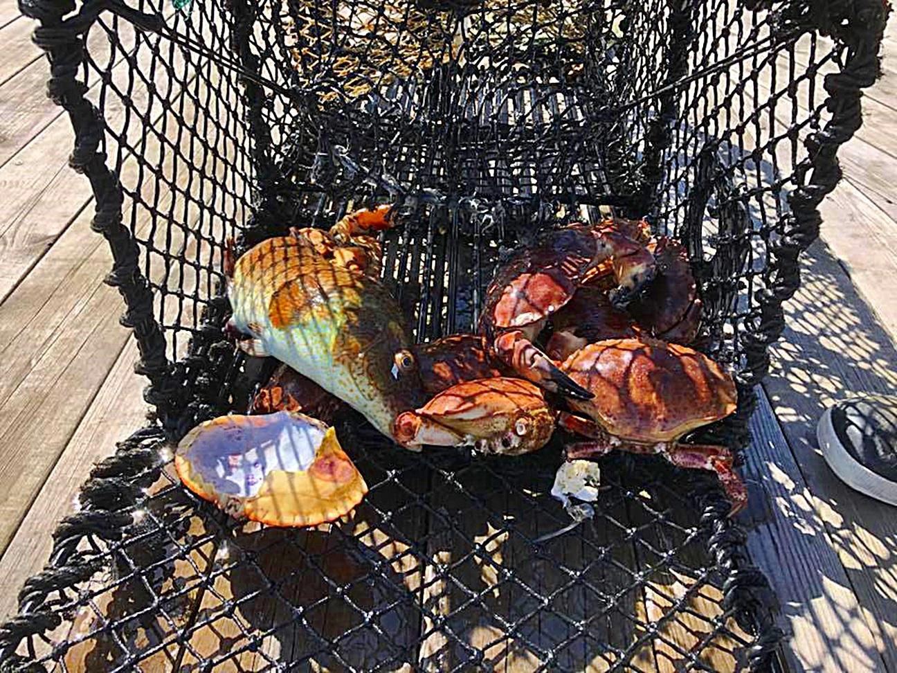krabber fisk og annet fanges og stenges inne til de dør