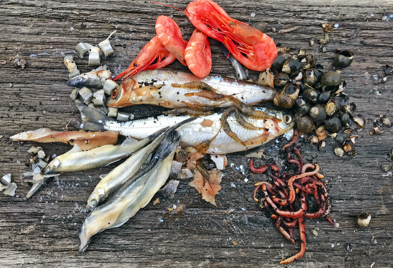 et knippe med agn som ble testet denne helgen. Lagesild, krøkle, strandsnegl, reke kokt, strandreke og meitemark